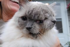 """""""Frank and Louie"""" is the world's longest surviving """"janus"""" feline. He's 12-years-old. The cat, who's name is """"Frank and Louie"""", has two mouths, two noses and three eyes. Frank and Louie have one brain, so the faces react in unison"""