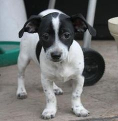 Quest is an adoptable Jack Russell Terrier Dog in Trevorton, PA. Quest is an 8 week old mix that was rescued from a high kill shelter. He will be a small to medium sized dog. He's very sweet and ver...