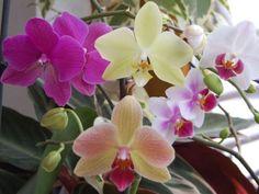 Mám veľmi rada orchidey, sú to podľa mňa najkrajšie izbové rastliny, ktoré sa za trochu starostlivosti odmenia neskutočnou krásou.