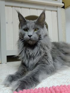 Maine Coon of Superbia - Suberbias Girls - Superbias Euphoria http://www.mainecoonguide.com/male-vs-female-maine-coons/
