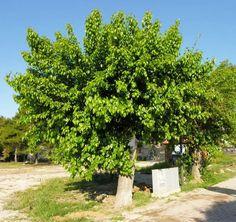 morus nigra, albero di more di gelso nero
