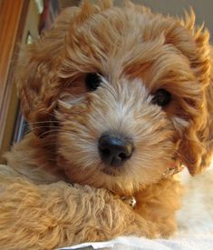 Goldendoodle. Rival for my affections.