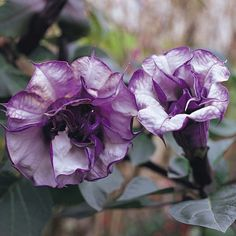 Datura metel 'Double Blackcurrant Swirl' - All other seeds - Thompson & Morgan    Need to plant these in February to March