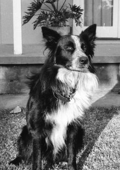 For the love of family pets. Border Collie crossed with a Australian Blue Heeler. Brains and scheming in one package.