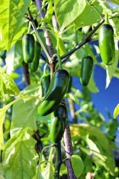 Some like it HOT - Tips for growing your own Chili Peppers #chilipeppers #gardening #dan330 http://livedan330.com/2015/03/27/some-like-it-hot-growing-your-own-chili-peppers/