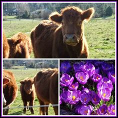 April's Homemaking: Signs of Spring and Organizing my DVDs - cows and crocus