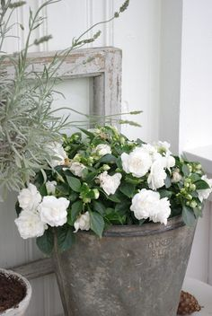 Highly scented white stock in an old zinc bucket containergarden the farm buckets white garden mightylinksfo