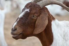 Goats: The Perfect Backyard Animal