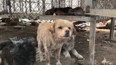 """""""I wonder how they remember. I wonder in that moment, how they make it last and hold on to it forever.  How do you remember my name? How do you know it was these hands that saved you?""""  Rescued last month with 300 dogs from a slaughterhouse in Changchun. They journeyed from North China to our shelter in Hunan. A number had broken bones and injuries. One of them, missing eyes as it was cut from him. Almost all the dogs we rescued, plagued with parvo or disease.   As I walked through our…"""