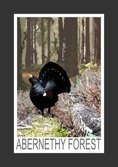 Capercaille in the Abernethy Forest, Scotland (Art Print)