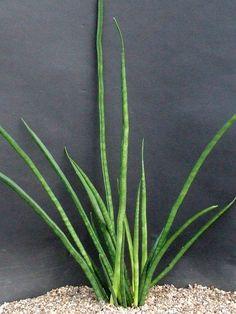 Sansevieria bacularis CG004.3 Mikado'