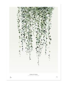 Botanics / String of Pearls | My Deer Art Shop