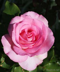 Hybrid Tea Rose 'Beverly' | Kordes 2007