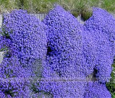 50pcs/Rock Cress (Aubrieta cultorum)seeds, Rare blue rock cress Flower Seeds for  Home Garden Perennial Ground Cover plant
