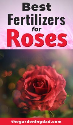 Are you interested in buying the best rose fertilizers? Are you interested in learning how to use them? Then this article is a MUST Read! Rose Bush Care, Rose Care, Front Yard Garden Design, Rose Garden Design, Climbing Rose Plants, Black Spot On Roses, Rose Plant Care, Best Roses, Rose Cuttings