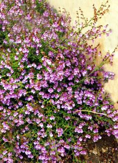 Prostanthera denticulata • Australian Native Plants Nursery • Plants • 800.701.6517