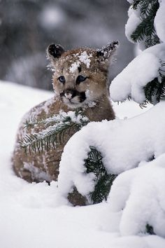 0a06f6024de5 Felini Puma(o Coguaro o Leone di Montagna- Puma Concolor)