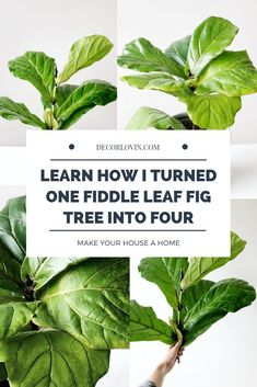 Want to know how to turn your fig tree into multiple plants? I'll show you exactly how I successfully propagated my fiddle leaf fig tree four times! Best Indoor Plants, Cool Plants, Indoor Garden, Fig Leaves, Plant Leaves, Planting Succulents, Planting Flowers, Succulent Plants, Types Of Houseplants