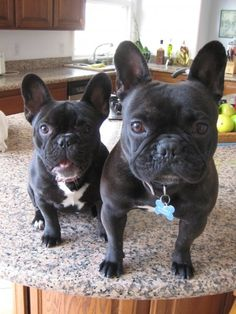 french bulldogs,