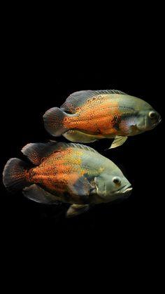 Cichlid Aquarium, Cichlid Fish, Cichlids, Tropical Freshwater Fish, Freshwater Aquarium Fish, Tropical Fish, Ancient Fish, Oscar Fish, Cool Fish