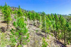 Qdiz Stock Images Fir Trees on Mountain Landscape,  #blue #Canary #fir #green #Hill #island #landscape #mountain #nature #rock #sky #Spain #stone #summer #Tenerife #tree