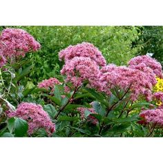 Tall to small- Butterflys love mauve mid-summer to fall blooms- Joe-pye Weed.