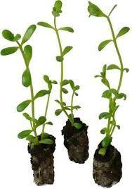 Herbes Medicinales Jardin De Plantes Medicinales Plantes Et