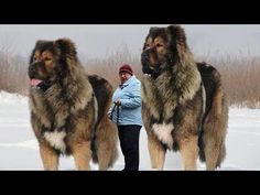 10 Abnormally Large And Dangerous Dogs In The World - Pet Loverz World Giant Animals, Big Animals, Funny Animals, Huge Dogs, Giant Dogs, Wolf Hybrid Dogs, Pit Puppies, Big Dog Breeds, Scary Dogs