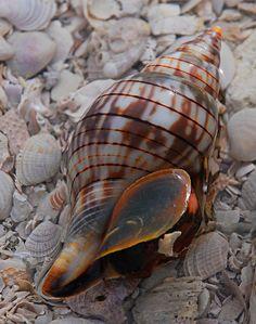 Florida Banded Tulip Shell - Trish Hartmann