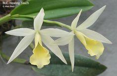 Inter-Generic Orchid-Hybrid Blc: BrassoLaelioCattleya 'Healing Touch' - Allen Black's Brassavola & Other Orchids