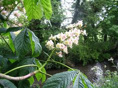 Horse chestnut at Brompton by Sawdon, Yorkshire