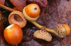 Heirloom 5 Seeds Oak Tree Seeds Bonsai Seeds Quercus by seedsshop, $2.29