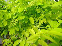 Robinia pseudoacacia Frisia 7