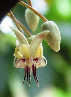 Cacao flower, Kendari, Sulawesi, Indonesia