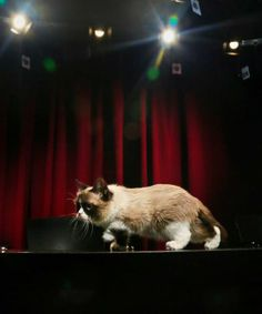 Grumpy Cat, an Internet celebrity cat whose real name is Tardar Sauce, walks on a table during a television interview on Friday April 4, 2014 #GrumpyCat #Tard #TardarSauce