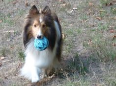 http://sheltienation.com/wp-content/uploads/2017/09/ditto-ball.jpg?utm_source=Sheltie+Nation+Subscribers&utm_campaign=56c0ea4857-RSS_EMAIL_CAMPAIGN&utm_medium=email&utm_term=0_f235c5a63f-56c0ea4857-87202577
