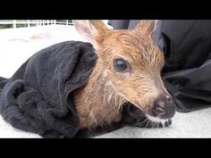Fawn Rescued From Pool On Its Last Breath And Reunited With Its Mother