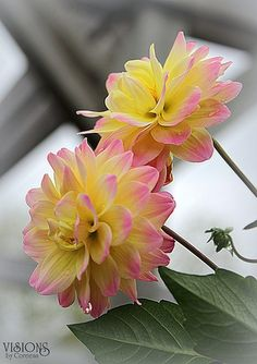 lovely yellow pink flowers