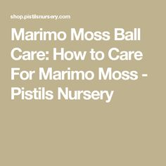 Marimo Moss Ball Care: How to Care For Marimo Moss - Pistils Nursery