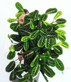 😍😍😍 Reposted from ( - Maranta lemon lime for the win! Outdoor Plants, Garden Plants, House Plants, Indoor Planters, Prayer Plant, Plant Aesthetic, Inside Plants, Plants Are Friends, Miniature Plants