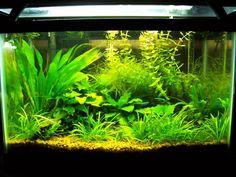 I found a pic of a ten gallon planted tank I had a few years ago. Aquarium Aquascape, Planted Aquarium, Aquascaping, Aquarium Fish Tank, Fish Aquariums, Tropical Aquarium, Tropical Fish, Aquarium Decorations, Aquarium Ideas