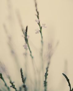 Botanical photograph grey lavender pastel spring by dullbluelight