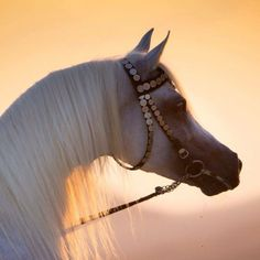The Arabian Horse - Drinkers of the Wind. Beautiful grey (white) Arabian with such a pretty face. Sunset shining through gorgeous mane. Stunning horse photography!