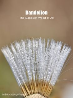 The Dandiest Weed of all -Dandelion Health benefits Herbology, Herbalism, and Herbal Medicine