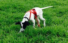 Tiago sled dog