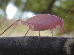 Pink animals - katydid