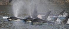 As Crisis Nears for Orcas and Salmon, Activists Urge the Removal of 4 Costly Dams