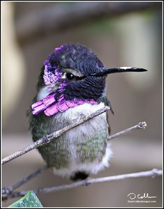 Costas Hummingbird : Purple Fury by Dave Collins Cute Birds, Pretty Birds, Small Birds, Little Birds, Colorful Birds, Beautiful Birds, Animals Beautiful, Cute Animals, Birds Pics