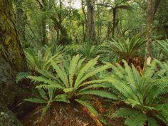 crown-fern-in-rimu-forest--stewart-island--new-zealand.jpg (1280×960)
