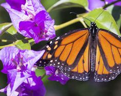 Monarch butterflies are dying off... and scientists now believe Monsanto is to blame. (15837 signatures on petition)